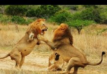 The Pack: When Lions Attack – Hunting Tactics
